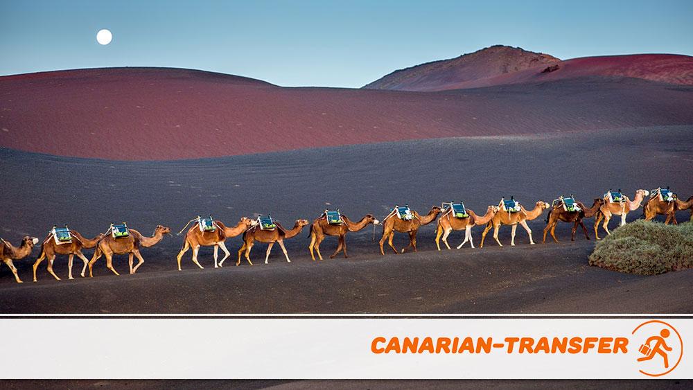 A camel ride in Lanzarote