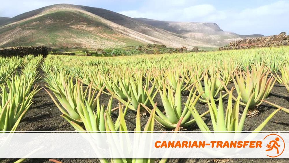 Aloe Vera in Lanzarote